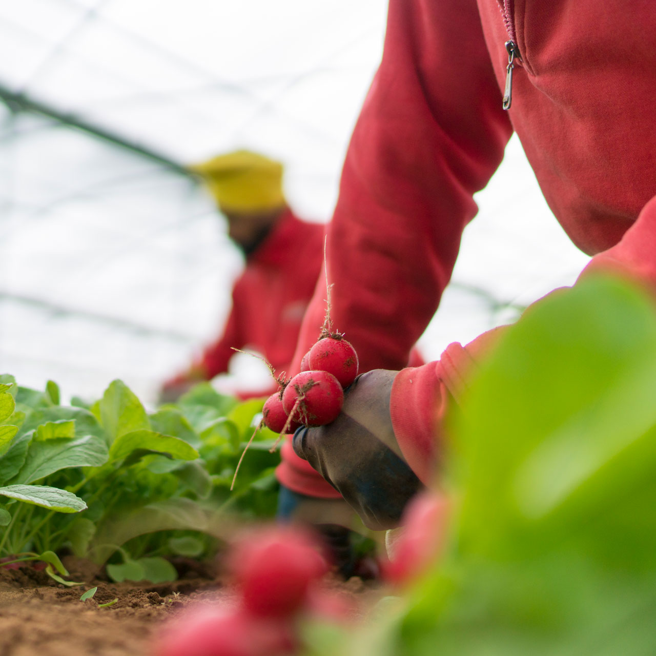 Borgo Grappa harvesting